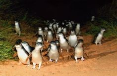 Penguin Parade in Phillips Island, Melbourne Australia. These guys are so cute! The island is famous for their nightly penguin parade where the world's smallest penguins waddle in from their day hunting for fish in the ocean across the sandy beach to their burrowed homes among the hillside.
