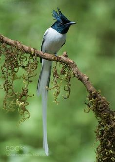 creatures-alive: White Prince by Gurdyal Singh Beautiful Birds, Animals Beautiful, Amazing Nature, Amazing Art, Bee Eater, Wild Nature, Kingfisher, Bird Feathers, Mother Nature