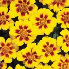 Photo of Marigold Disco Marietta, Single Flowered