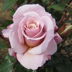Something Different - Hybrid Tea Rose https://www.thefragrantrosecompany.co.uk/roses-by-type/hybrid-tea-large-flowering/something-different.html