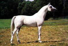 EMERYK (Etogram x Erotyka, by Eufrat) 1990 grey stallion