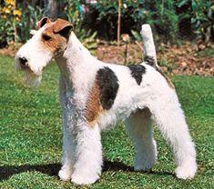 Fox Terrier Pelo Duro, Reino Unido