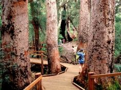 Valley of the Giants Tree Top Walk Denmark in Australia's south west Walpole Wilderness 400 kilometres from Perth.