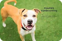 Kansas City, MO - American Pit Bull Terrier Mix. Meet Powder, a dog for adoption. http://www.adoptapet.com/pet/18086634-kansas-city-missouri-american-pit-bull-terrier-mix