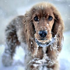 Cocker spaniel in snow Cute Puppies, Cute Dogs, Dogs And Puppies, Doggies, Beagle, Animals And Pets, Cute Animals, Cockerspaniel, English Cocker Spaniel