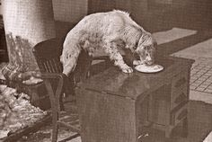 Winks, a Llewelinn Setter, was a Roosevelt family dog.