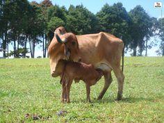 vaca gir leiteiro