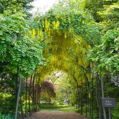arbor tunnel of Laburnum in the Yellow Garden at Ladew Gardens