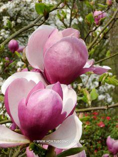 Magnolia x soulangeana 'Lennei' - Sierboom - Hortus Conclusus - 6