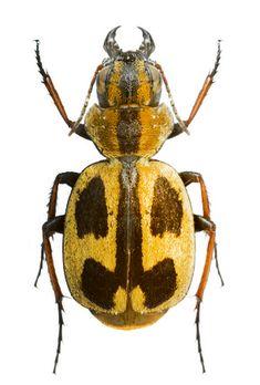 Graphipterus fasciatus distinctus