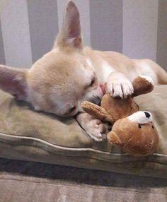 Ahh Que Bonita Chihuahua! ⭐ #Chihuahua