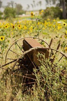 Types of Perennial Sunflowers Perennial Sunflower, Types Of Sunflowers, Wild Sunflower, Late Summer Flowers, Urban Farmer, Missouri Botanical Garden, Master Of Fine Arts, Drought Tolerant Plants, Country