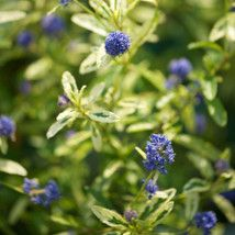Ceanothus 'Lemon and Lime' (Californian Lilac) - medium high evergreen
