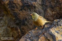 Birding stories: birdwatching and photography trips: Ortolan Bunting photography