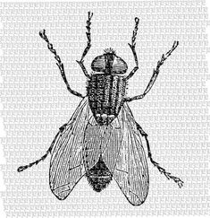 House Fly Insect Illustration Vintage by luminariumgraphics