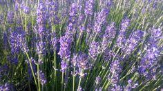 Lavendel - Die getrockneten Blüten des Lavendels werden in der Volksheilkunde bei Migräne, Kopfschmerzen, Bronchialasthma, Schwindel, Nervosität, Blähungen, Herzklopfen und Gliederschmerzen eingesetzt.