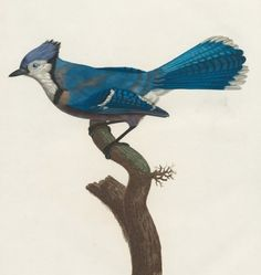 Le Geai Bleu (blue jay) - Histoire naturelle des Oiseaux de paradis et des Rolliers, suivie de celle des Toucans et des Barbus - illustrated by Jacques Barraband - 1806 - viae-rara(higher res but less colorful images also viaNYPL)