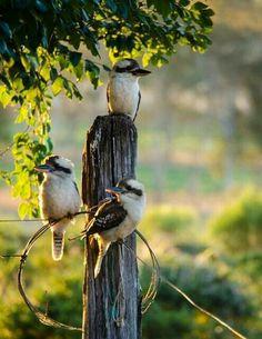 Kookaburra family unit !