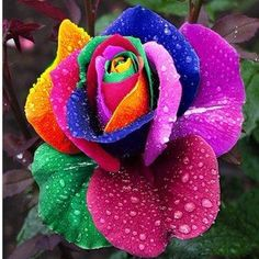 rose multicolori