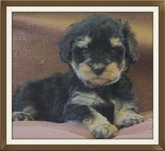 We are top breeders of the Schnoodle dog - 1/2 Schnauzer 1/2 Poodle. Toy, miniature & standard sizes. Two year guarantee. 30+ years experience. Many references.