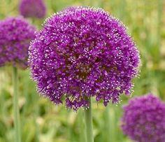 Garlic flower-Fiore dell'aglio