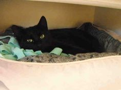 I am the adorable cat named Sherlock, and I am very pleased to make your acquaintance. You may think we don't know a thing about each other - but I definitely know something about you. I know you're a wonderful human-person looking for an incredible cat to call your very own. I am a neutered male, black Domestic Shorthair and I am about 2 years and 7 months old (ID#A078391)