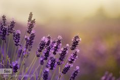 Lavender! by IngunaPulme. Please Like http://fb.me/go4photos and Follow @go4fotos Thank You. :-)