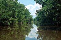 El mangle rojo, Rhizophora mangle, es una especie pionera que crece en los bordes de cuerpos de agua salada y salobre.