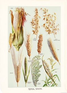 1903 Grain Print - Vintage Antique Art Illustration Book Plate Natural Science Great for Framing 100 Years Old