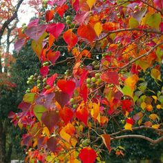 Chinese Tallow Tree in the Autumn: Toxic sap that can harm native birds. This tree alters soil chemistry and shades out sun-loving plants, degrading habitat for bird species like the Red-Bellied Woodpecker and the Ruby-Crowned Kinglet Landscaping Plants, Garden Plants, Sun Loving Plants, Unique Trees, Tree Leaves, Garden Inspiration, Garden Ideas, Bird Species, Autumn Trees
