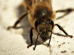 #Nahaufnahme einer #Biene