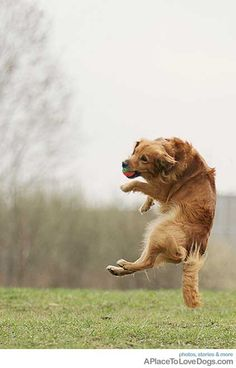 Golden retriever in flight.