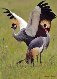 Grey Crowned Cranes (photo by Marielou Dhumez) kThis post has 382 notes tThis was posted 6 days ago zThis has been tagged with animals, bird, crane, grey crowned crane, africa,