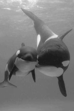 Baby killer whale with it's mommy!