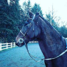 Re lol #horse #horses #horseoftheday #horsesofinstagram #instahorse #instagramhorses #instapet #petsofinstagram #petoftheday #instagrampets #equestrian #equestrianlife #horsebackriding #horseriding #hackney #hackneyhorse #horselove #ilovemyhorse