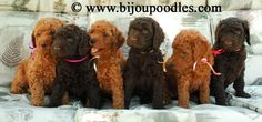 red standard poodle puppies for sale, Brown Standard Poodle puppies for sale - !! FALL LITTER !! 2014 bijou, in Ontario