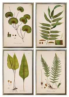 antique fern prints gallery wall frames, set of 4 giclee prints period appropriately framed in thin silver leaf wood frame. Made in USA by MUSEUM OUTLETS Gallery Wall Frame Set, Frames On Wall, Framed Wall, White Frames, Botanical Illustration, Botanical Prints, Wall Groupings, Tropical Home Decor, Tropical Interior