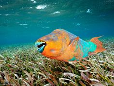 A male rainbow parrotfish patrols a bed of turtle grass in the Mesoamerican Reef. (Photo by Brian Skerry)    Learn about this diverse reef: http://on.natgeo.com/UR6Ouv