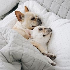 Piggy and Polly, French Bulldogs❤❤ Pug, Dachshund, Cute Puppies, Cute Dogs, Dogs And Puppies, Doggies, Animals And Pets, Baby Animals, Cute Animals