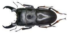 Dorcus intermedius Gestro, 1881 male