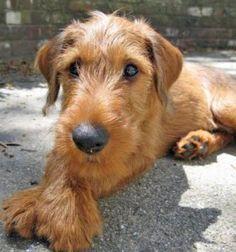 Charming irish terrier I enjoy the Evening that's is wonderfuly . Charming irish terrier I enjoy the Evening that's is wonderfuly . Welsh Terrier, Terrier Dogs, Terrier Mix, Terriers, White Terrier, Terrier Breeds, Airedale Terrier, Pet Dogs, Dogs And Puppies