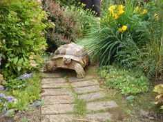 Our pet tortoise Daisy taking a stroll in the garden.one of my dream pets Tortoise Habitat, Baby Tortoise, Sulcata Tortoise, Tortoise Care, Tortoise Turtle, Tortoise Food, Giant Tortoise, Tortoise Enclosure, Turtle Enclosure