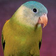 Grey-Cheeked Parakeet