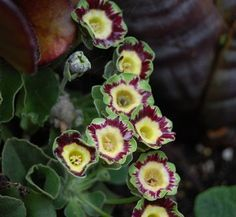Primula auricula 'Angelo Hayes' 6 flower
