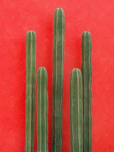 green cactus against bright orange red wall, wedding motif and decoration inspiration Cacti And Succulents, Cactus Plants, Indoor Cactus, Cactus Cactus, Cactus Flower, Plants Are Friends, Cactus Y Suculentas, Red Background, Belle Photo