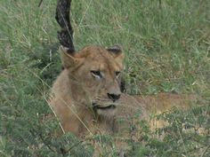 Mother lion at Kapama river lodge South Africa
