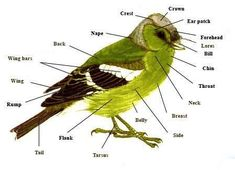 Learning the parts of a bird Repinned by Chesapeake College Adult Ed. We offer free classes on the Eastern Shore of MD to help you earn your GED - H.S. Diploma or Learn English (ESL). www.Chesapeake.edu