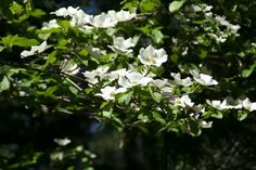 Dogwood blooms are amazing in Yosemite Valley. Learn about the best hikes and the secrets to getting reservations. Camping In Illinois, Joseph Oregon, Camping World Locations, Camping In England, National Park Camping, Yosemite Camping, Mirror Lake, Camping Blanket, Yosemite Valley