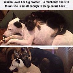 She loves her big brother, and we love this pic!! Too cute! #adorable #cute #dogs #doglovers