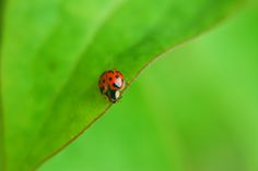 Ladybug In Green by Andrea Di Mauro on 500px #animal #animals #colors #colour #coloured #d60 #detail #details #focus #fresh #gallery #green #insect #italy #ladybug #leaf #leafs #lenses #macro #mini #minimal #mothernature #nature #nikon #photo
